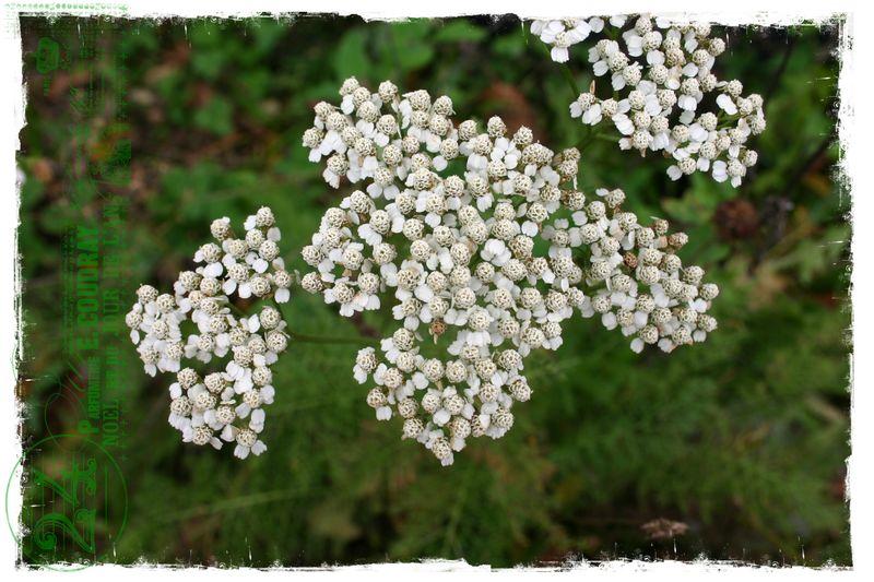 Cashiers highlands flowers 5