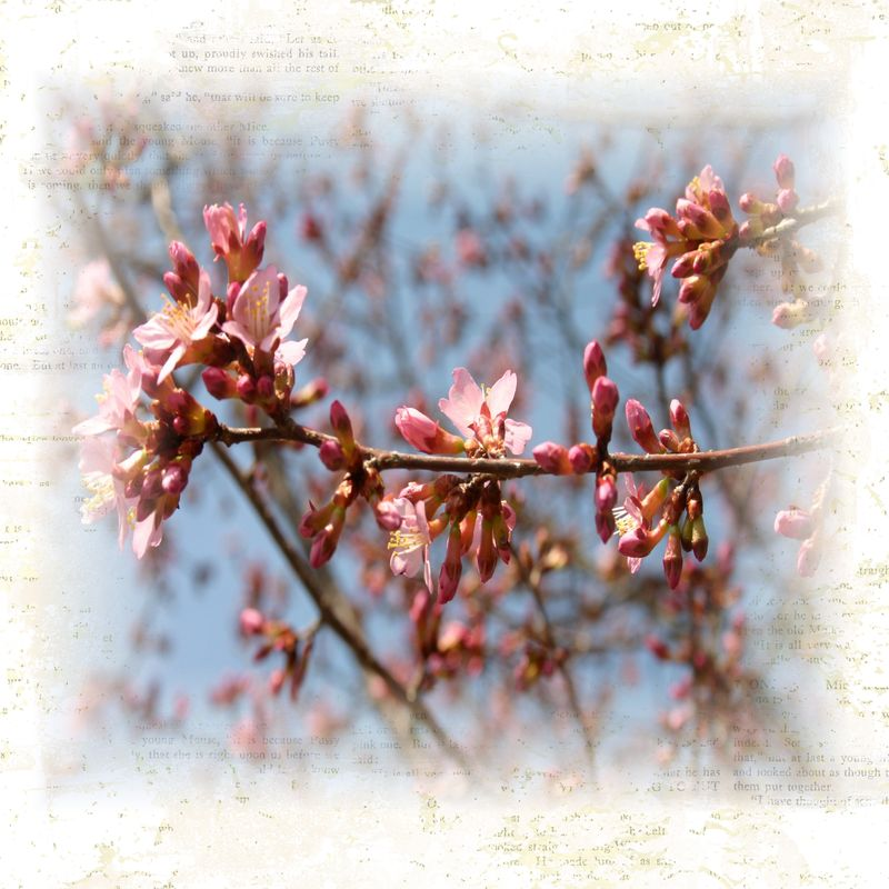 Copy of apple blossoms