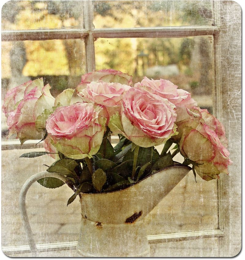 Pink-roses-044-morning-ligh