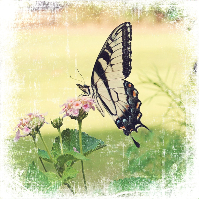 Copy of butterfly.jpg web resized