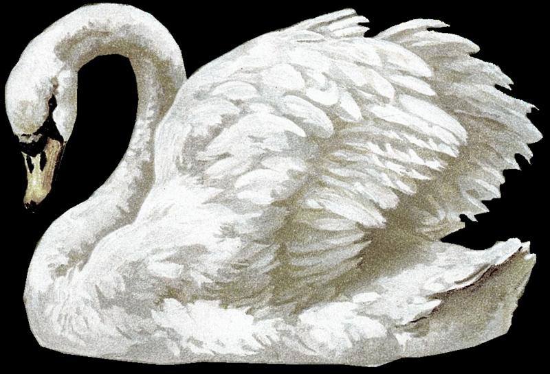 Copy of swan3