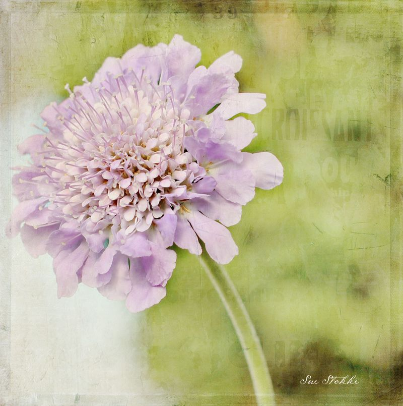 Scabiosa-pincushion4