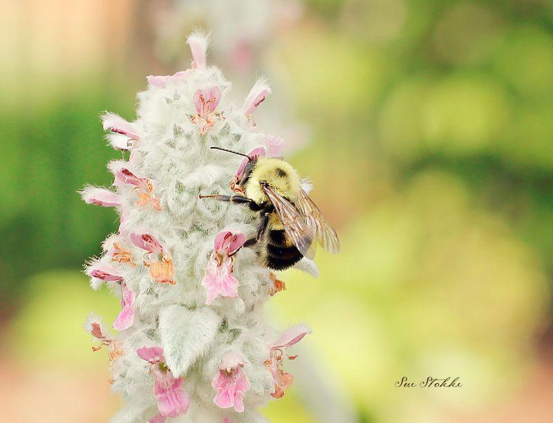 Bees1web