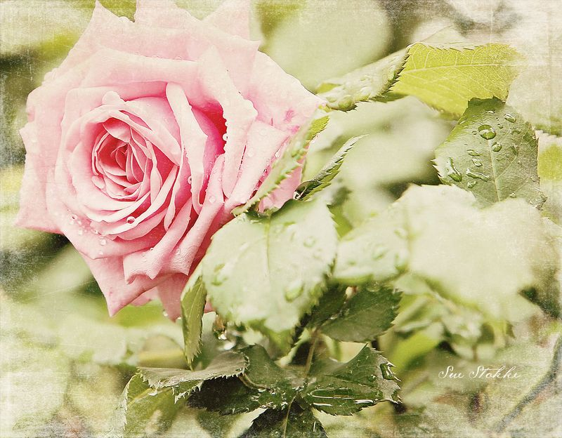Webview-rose